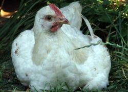 Россельхознадзор задержал 20 тонн птичьего мяса