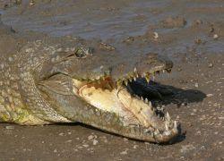 Священный крокодил сожрал паломника в Бангладеш