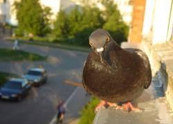В Боснии арестовали почтового голубя