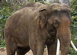 У слонов оказались очень гибкие ноги
