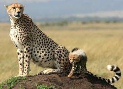 Сафари в Кении опять подорожает