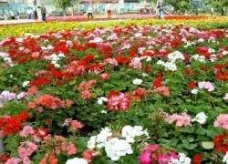 Москва в 15-ый раз станет цветочной столицей мира