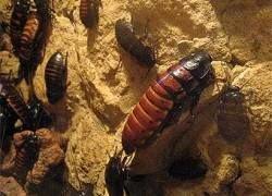 Тараканы-бисексуалы оказались суперсамцами