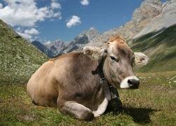 Почему коровы выстраиваются в линию?
