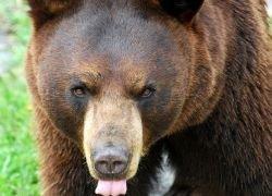 В Сибири участились нападения медведей на людей