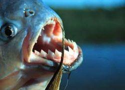 В Неве петербургский рыбак выловил пиранью