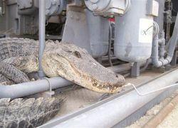 Крокодил в засаде