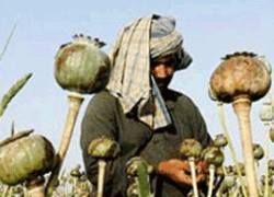 Операция НАТО вызвала рост наркопроизводства в Афганистане?