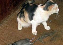 В столице растет спрос на котов-крысоловов