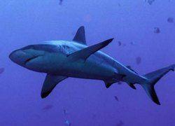 Акула забеременела и выносила плод без участия самца