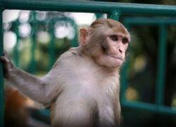 Японская обезьяна устроилась на работу официантом