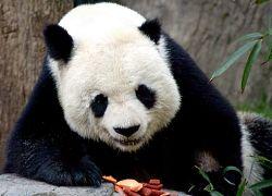 Китайские ученые: панды - это скорее собаки, а не мыши