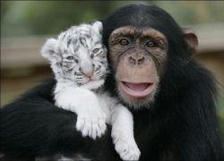 Шимпанзе воспитала двух тигрят
