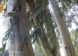 На острове Тасмания нашли высочайший в мире эвкалипт