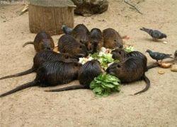 Крысы оккупировали Москву
