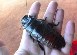 11 тараканов во рту: новый рекорд