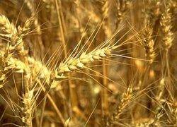 Россия в 2008 году собрала почти на 30% больше зерна, чем в прошлом