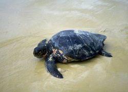 Доминиканская Республика ужесточает меры по защите морских черепах