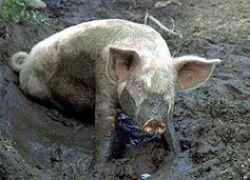 Русские свиньи будут прыгать в воду