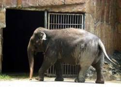 Вылеченный от наркомании слон не смог освоиться в дикой природе