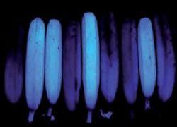 Зрелые бананы оказались голубыми в ультрафиолете