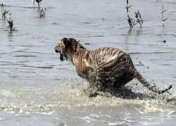 Глобальное потепление заставляет тигров нападать на людей