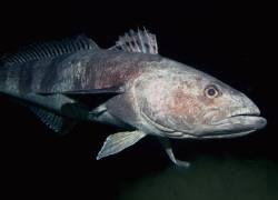 Незамерзающая рыба показала свои экстремальные гены