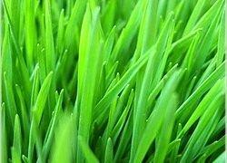 Витграсс: целебные свойства ростков пшеницы