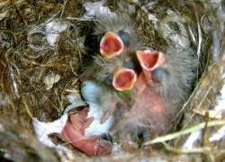Первенцы в птичьих семействах щебечут лучше всех