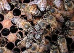 Во Флориде борются с пчелами-убийцами
