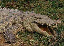 Американского подростка арестовали за убийство крокодила