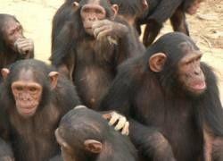 Европа намерена запретить опыты на обезьянах