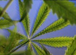 Студенты продали сотруднику наркоконтроля крапиву вместо марихуаны