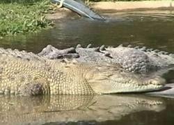 Новое развлечение для смелых – плавание с крокодилом