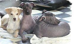 Обаме предложили лысую и беззубую собаку