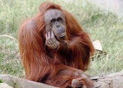 Поиск отличий от обезьян привел людей к стертым генам