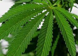 Вьетнамцы в Чехии поставили производство марихуаны на поток