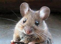 Мышь, увлекающаяся парашютным спортом