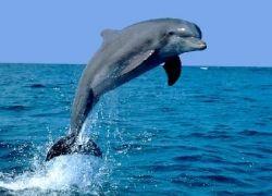 """Учеными разгадан \""""парадокс дельфина\"""""""