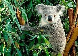 Ученые раздадут коалам мобильные телефоны