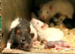 Мыши доказали пользу семейной жизни для здоровья