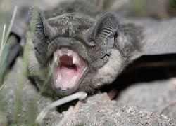 Ураганы могут способствовать разнообразию видов летучих мышей
