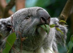 Австралийцы предлагают к Рождеству всем желающим  усыновить коалу
