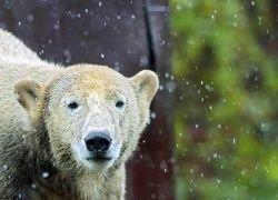 Медвежонок Кнут прощается с родным зоопарком