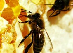 Над испанскими пчелами нависла угроза исчезновения
