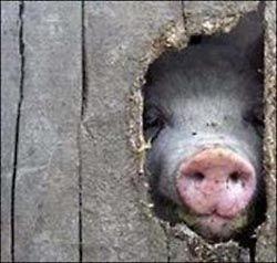 Ирландская свинина небезопасна