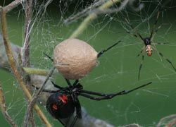 Мелкие пауки оказались более успешными самцами