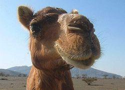 Австралийцам предложили съесть расплодившихся верблюдов