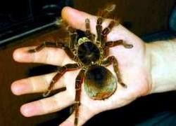 Удивительное о тарантулах