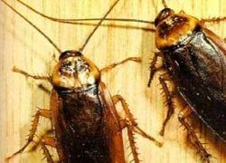 В мире исчезают тараканы